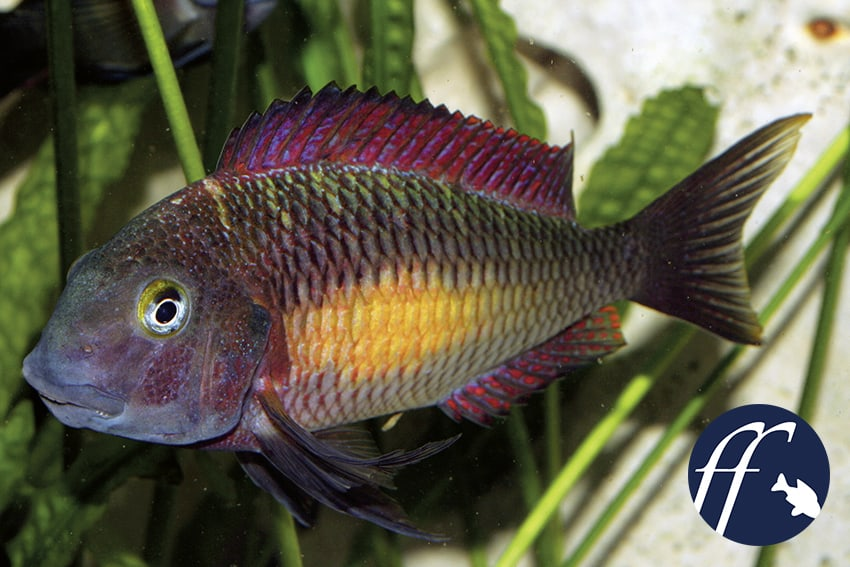 "Franky Friday: Tropheus sp. ""Kasanga"""