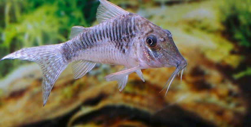 Corydoras sp. Souza C124