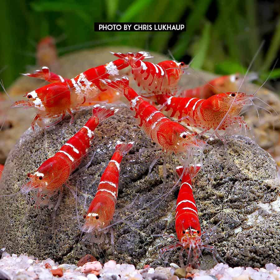Crystal Red Garnele - Caridina logemanni