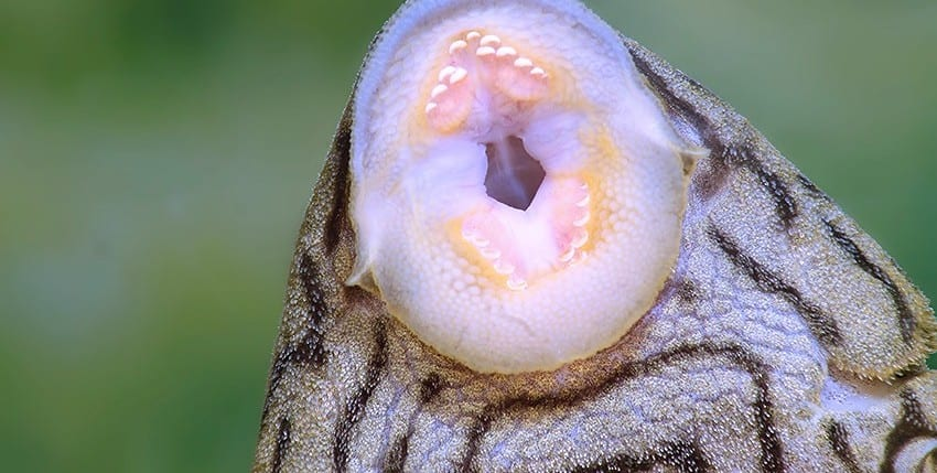 Panaque cf. titan Shampupa L418