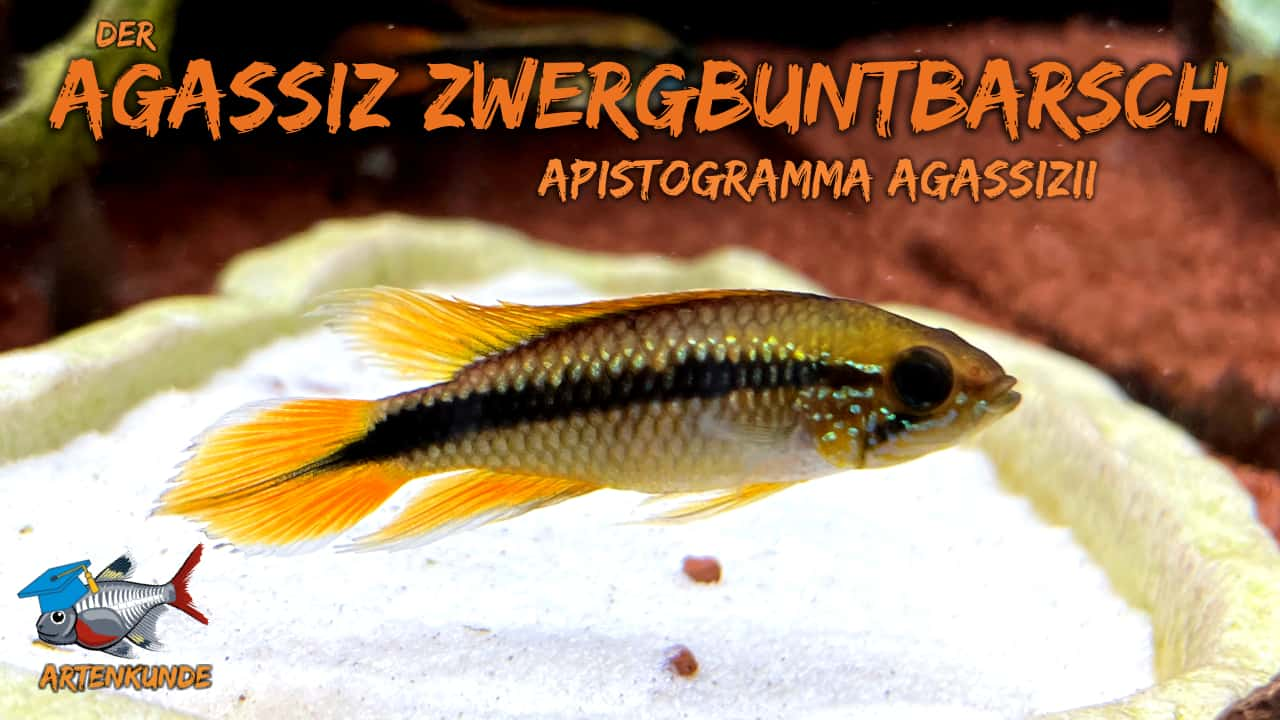 AQUaddicted! - Video Tipp: Der Agassiz-Zwergbuntbarsch im Portrait