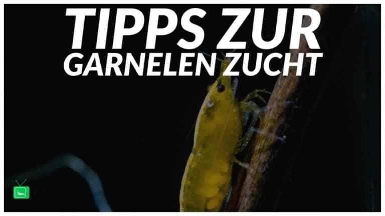 GarnelenTv Video Tipp: Tipps & Tricks zur Garnelenzucht