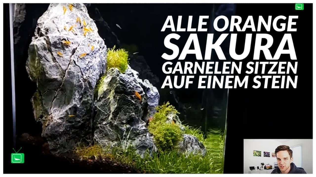 GarnelenTv Video Tipp: Orange Sakura Garnelen
