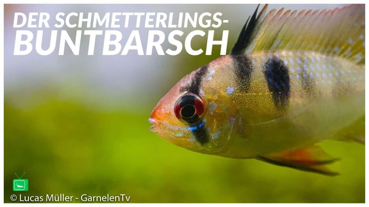 GarnelenTv - Video Tipp: Südamerikanischer Schmetterlingsbuntbarsch