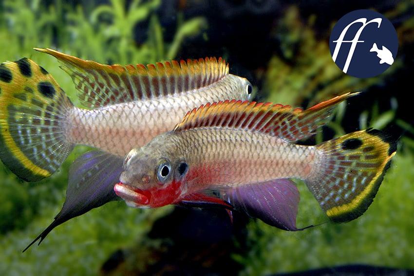 Franky Friday: Prachtbarsche wie Pelvicachromis & Co.