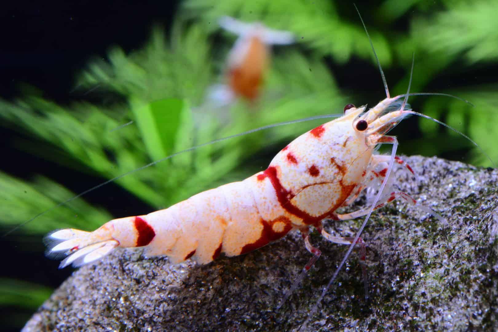 275: Trends in der Wirbellosen-Szene - Was gibt es Neues bei Garnelen, Krebsen und Schnecken? (Farschad Farhadi) 4