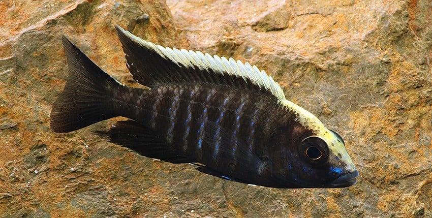 Aulonocara maylandi