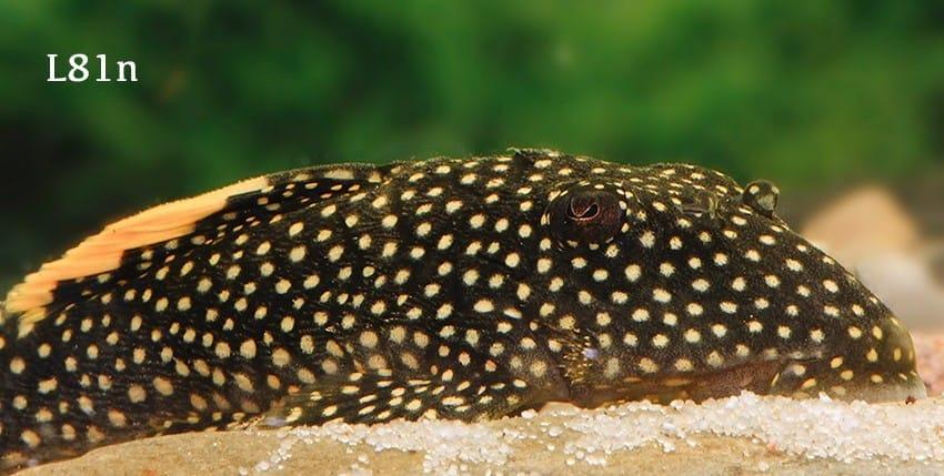 Baryancistrus xanthellus
