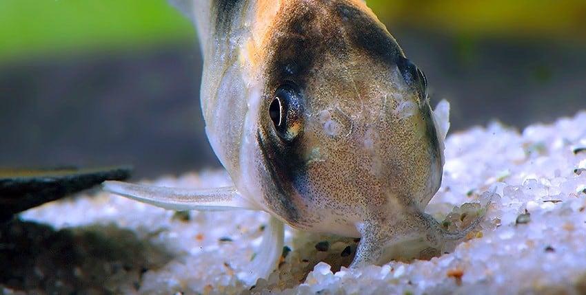 Corydoras burgessi