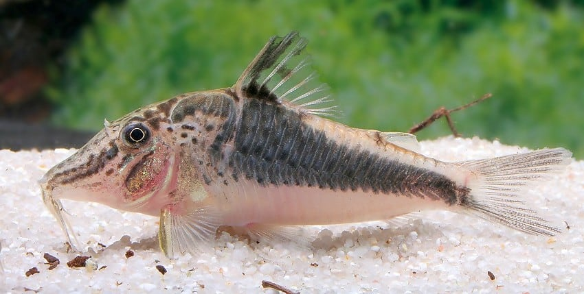 Corydoras semiaquilus