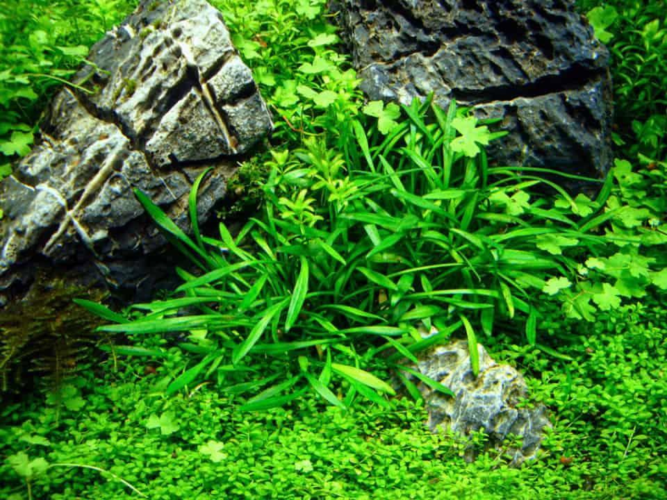 7 Tipps für das Einsetzen von Pflanzen ins Aquarium - so wachsen Aquarienpflanzen sicher an 3