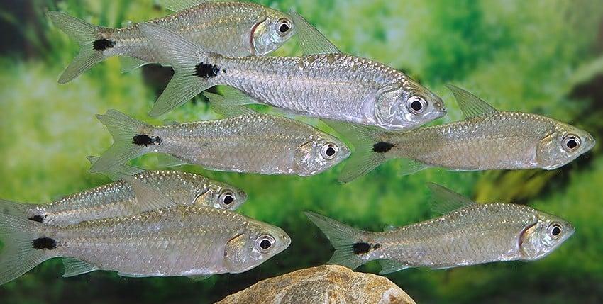 Curimatopsis macrolepis
