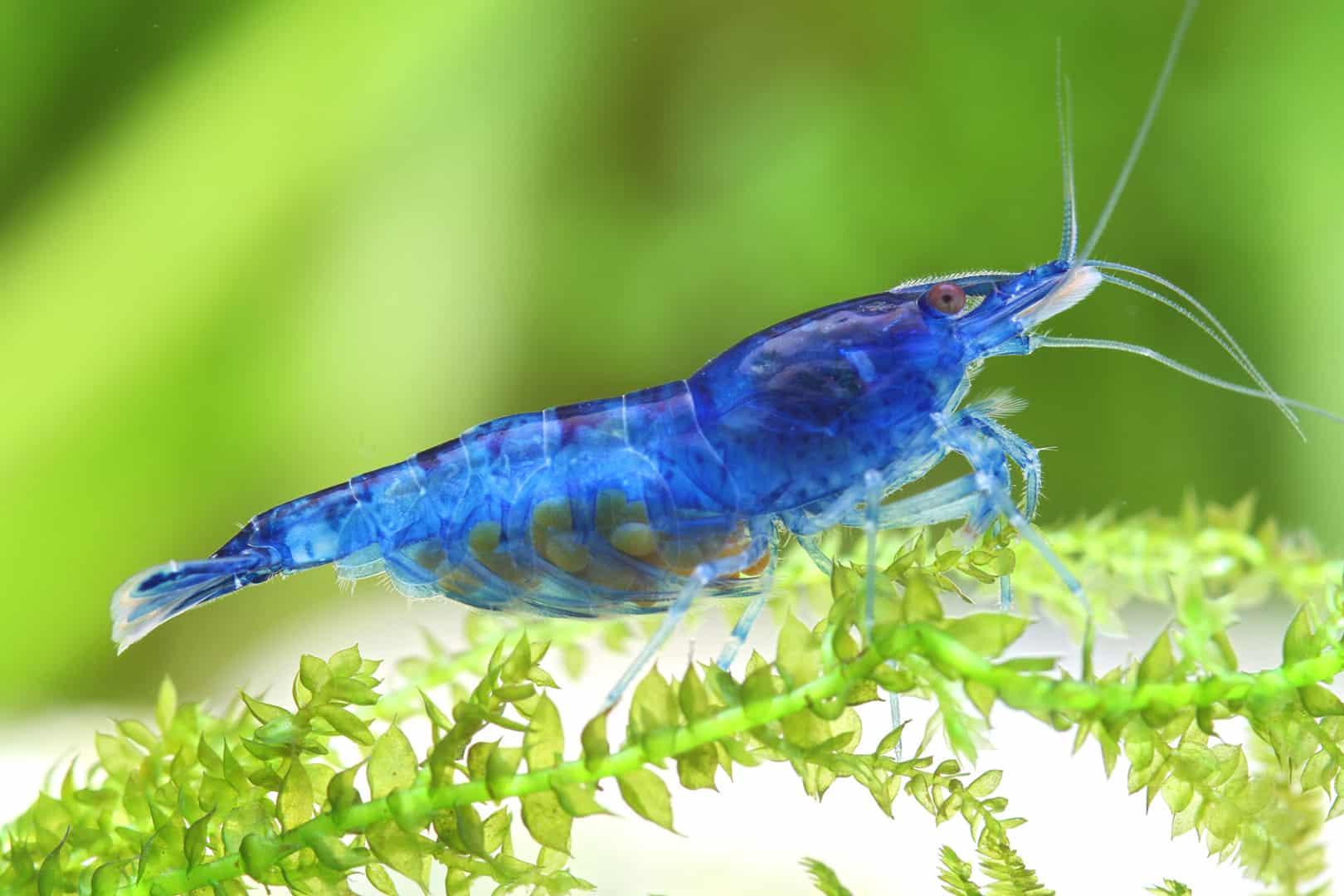 275: Trends in der Wirbellosen-Szene - Was gibt es Neues bei Garnelen, Krebsen und Schnecken? (Farschad Farhadi) 8