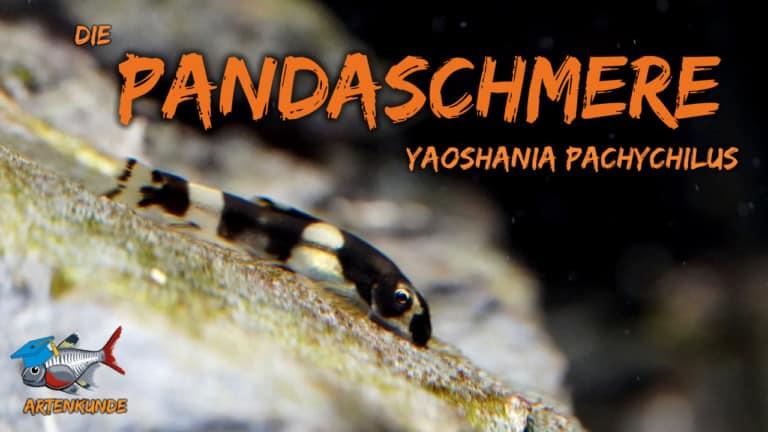AQUaddicted! – Video Tipp: Die Panda Schmerle im Portrait