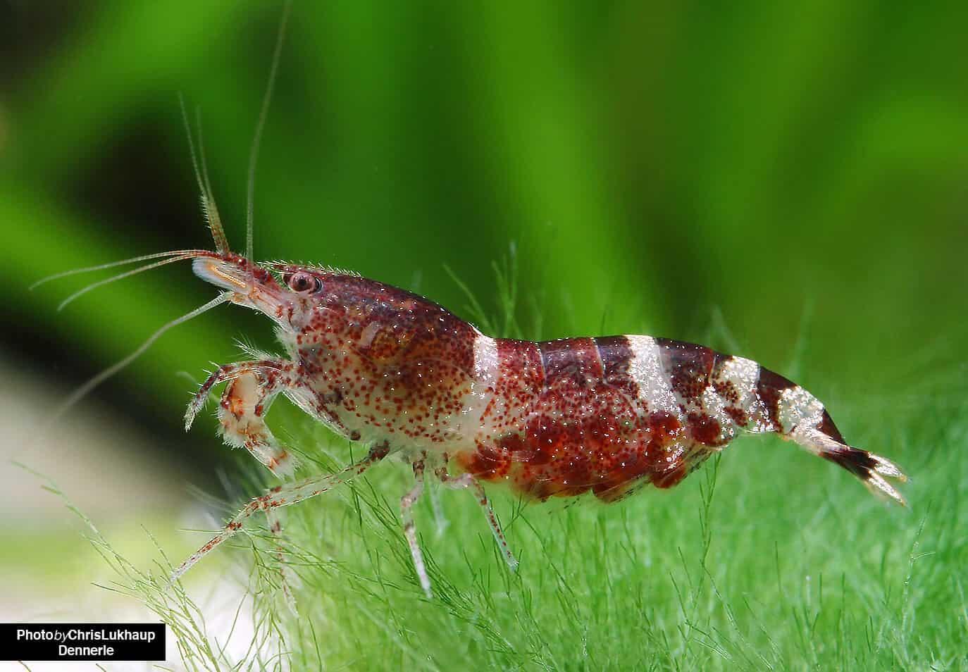 275: Trends in der Wirbellosen-Szene - Was gibt es Neues bei Garnelen, Krebsen und Schnecken? (Farschad Farhadi) 6