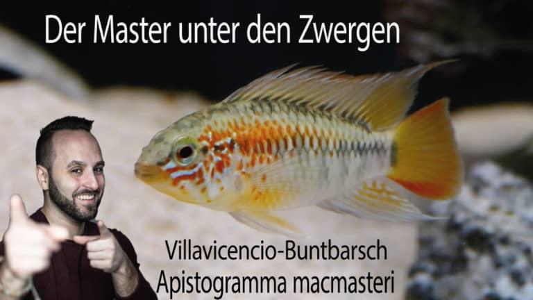 Tobis Aquaristikexzesse Video Tipp: Villavicencio Zwergbuntbarsch