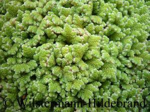 278: Aquarienpflanzen ganz einfach erklärt - Grundlagen und Arten zum Erfolg (Maike Wilstermann-Hildebrand) 6