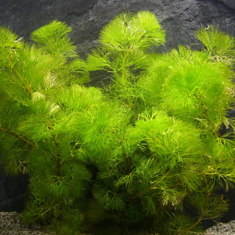 278: Aquarienpflanzen ganz einfach erklärt - Grundlagen und Arten zum Erfolg (Maike Wilstermann-Hildebrand) 5