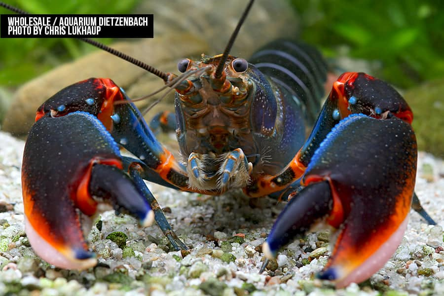 "Cherax alyciae - ""blue kong red claw"" Krebs"