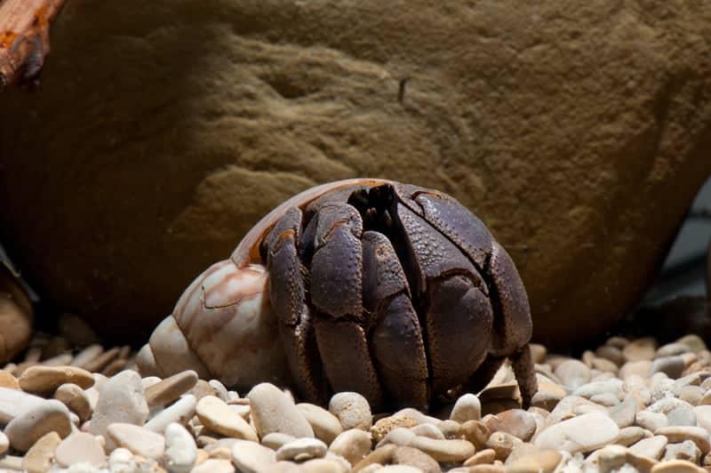 Coenobita violascens 5-6cm