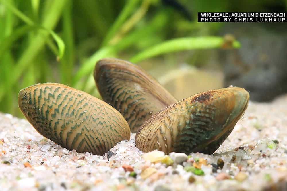 """Scabies crispate - Tropische Muschel """"Ornament"""""""