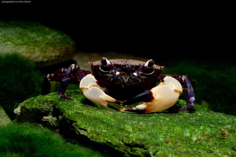 Syntripsa flavichela WF Indonesien 4-5cm