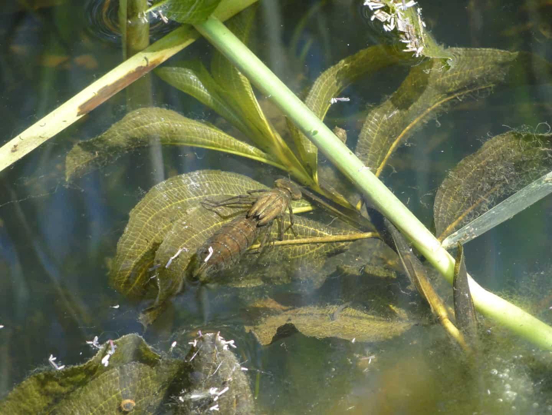 276: Libellenlarven im Aquarium entdeckt - Eingeschleppte Freunde oder Feinde? (Dr. Stefan Karl Hetz) 18