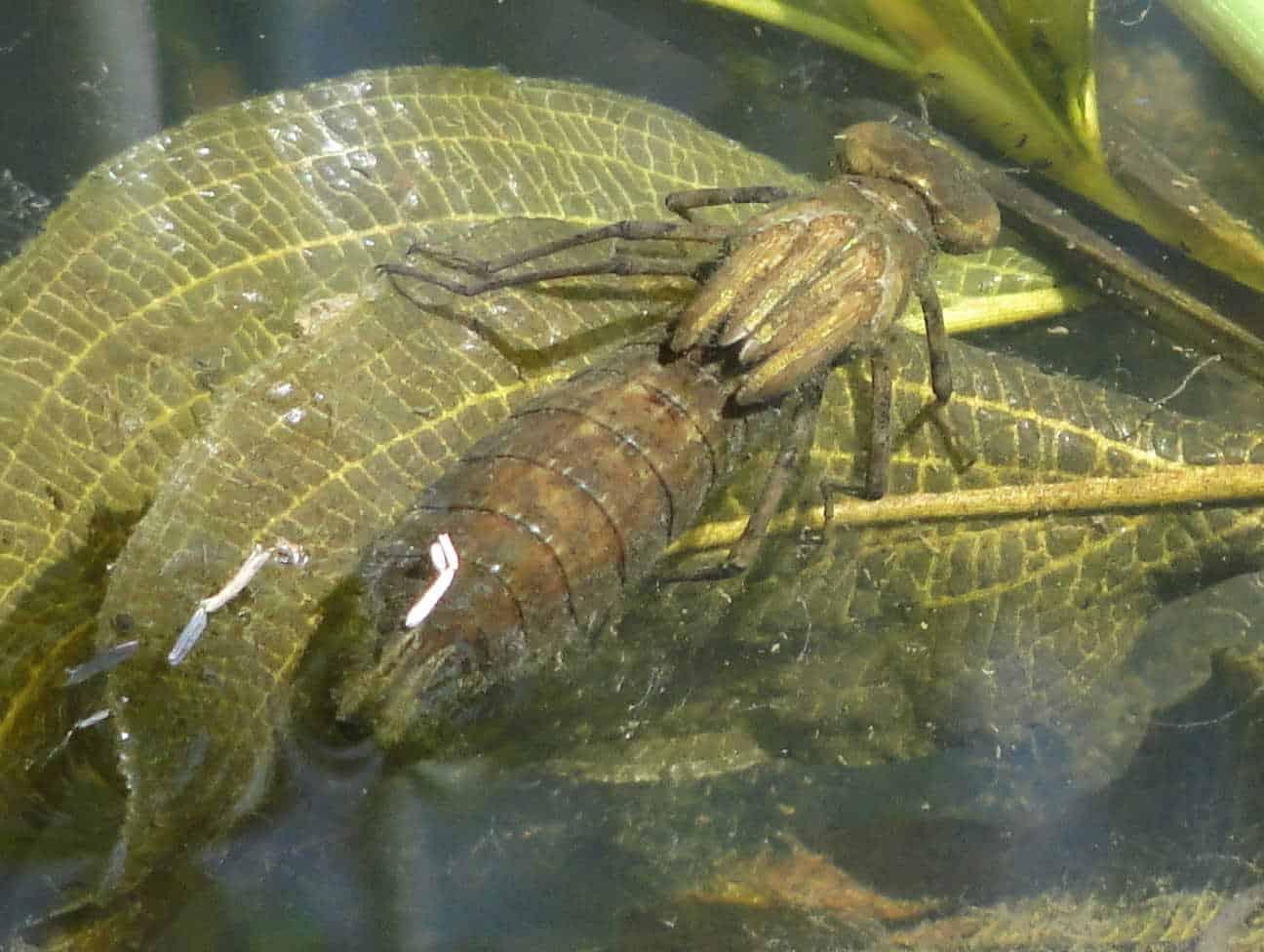 276: Libellenlarven im Aquarium entdeckt - Eingeschleppte Freunde oder Feinde? (Dr. Stefan Karl Hetz) 17