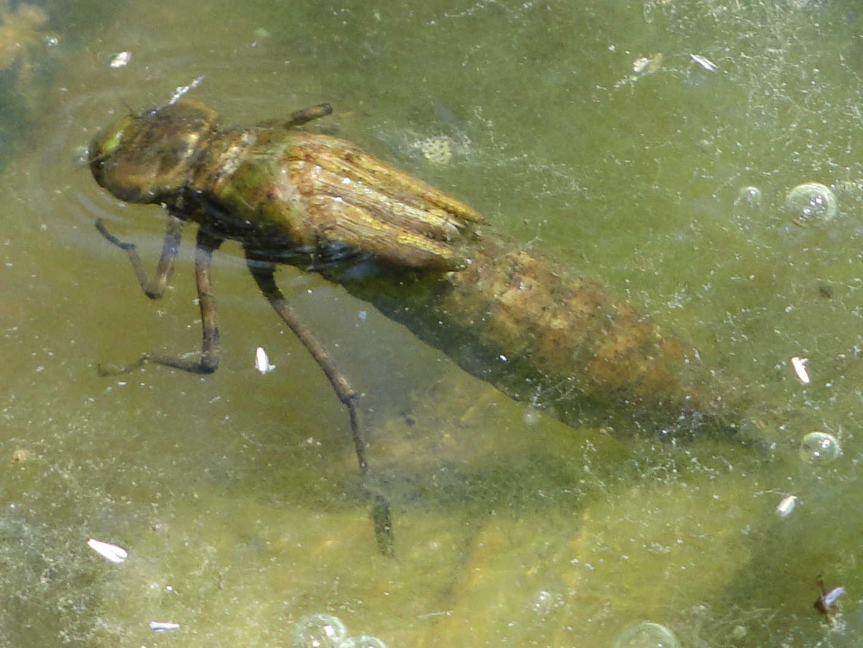 276: Libellenlarven im Aquarium entdeckt - Eingeschleppte Freunde oder Feinde? (Dr. Stefan Karl Hetz) 15