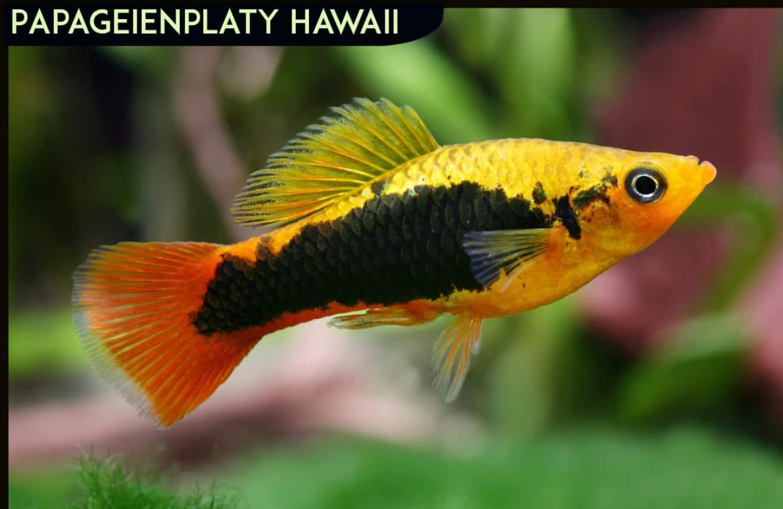 "Xiphophorus variatus - Papageienplaty ""Hawaii"""