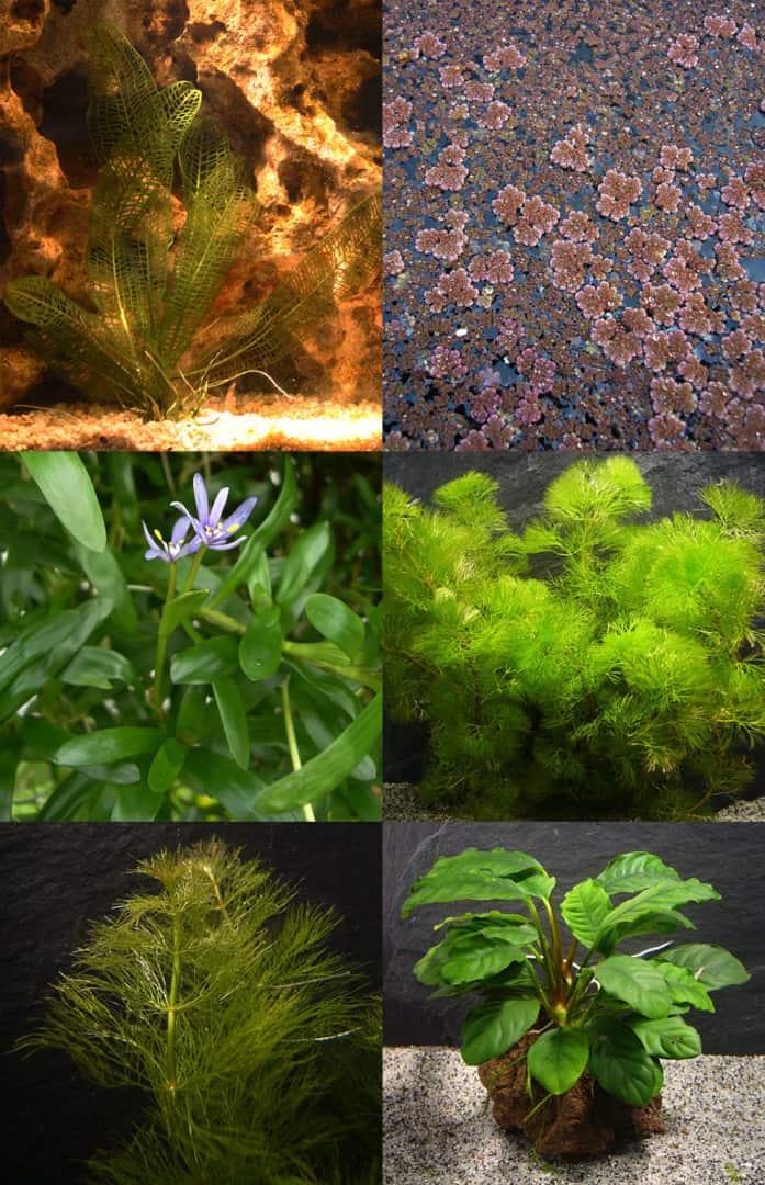 279: Erste Hilfe für Wasserpflanzen - Maßnahmen bei Problemen mit dem Wachstum (Maike Wilstermann-Hildebrand) 6