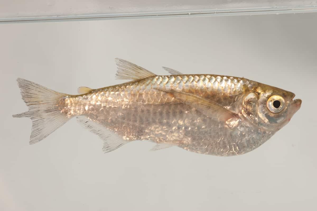 277: Haben Fische Muskeln? Fitness und Bodybuilding im Aquarium (Dr. Stefan Karl Hetz) 8