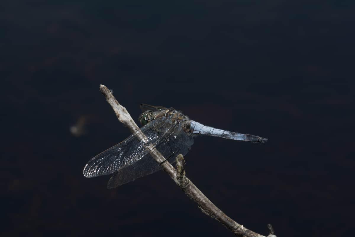 276: Libellenlarven im Aquarium entdeckt - Eingeschleppte Freunde oder Feinde? (Dr. Stefan Karl Hetz) 5