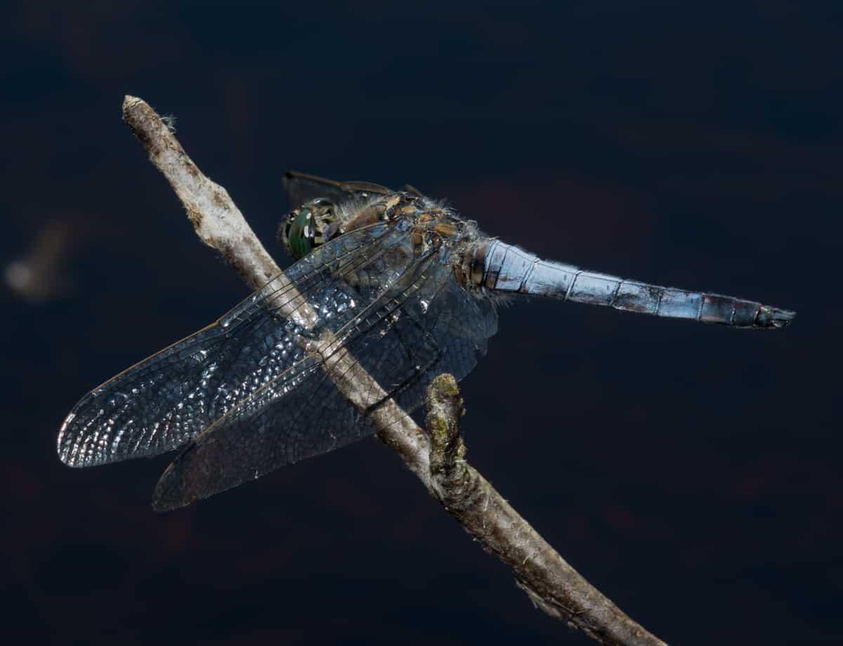 276: Libellenlarven im Aquarium entdeckt - Eingeschleppte Freunde oder Feinde? (Dr. Stefan Karl Hetz) 6