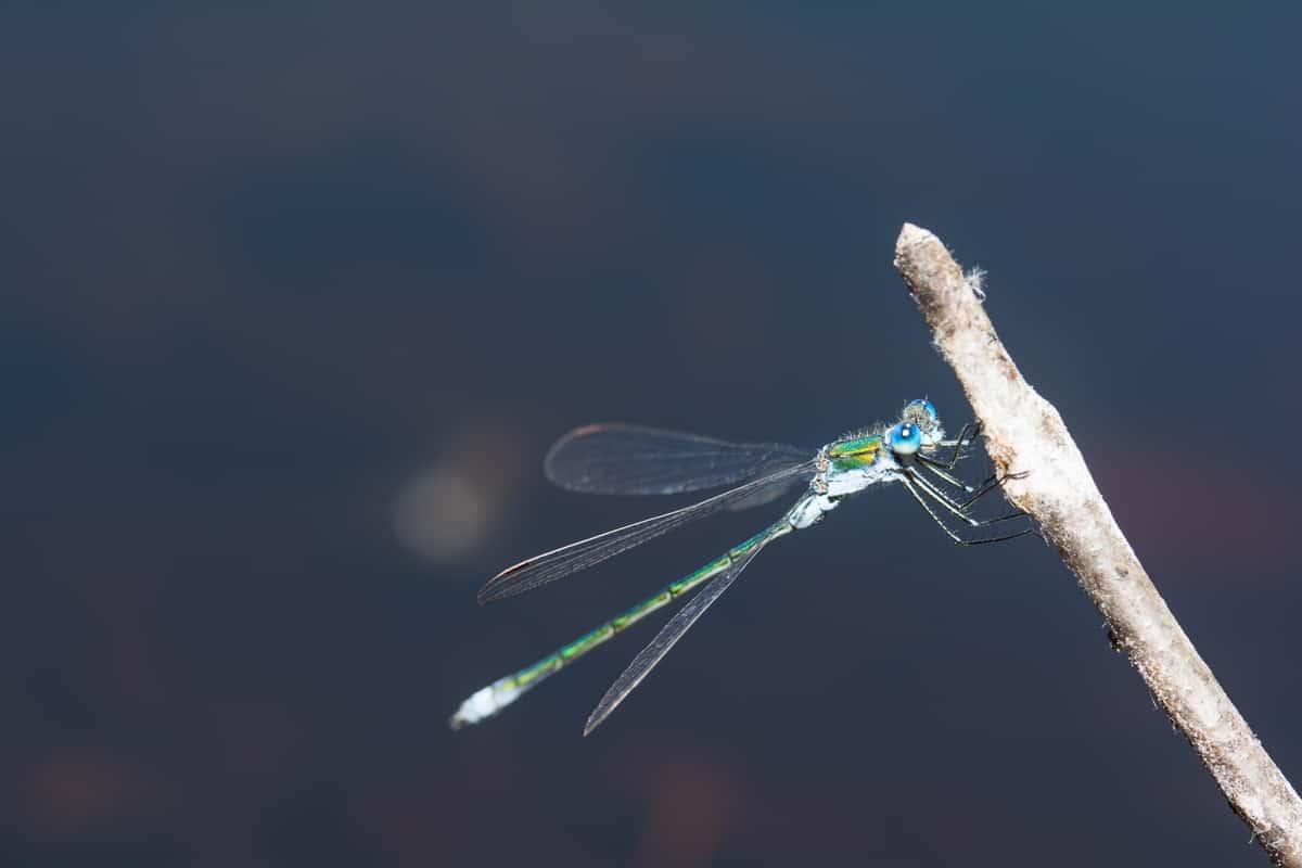276: Libellenlarven im Aquarium entdeckt - Eingeschleppte Freunde oder Feinde? (Dr. Stefan Karl Hetz) 7