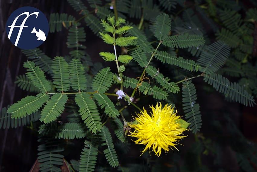 Franky Friday: Mimosen - Pflanzen auch im Wasser 1