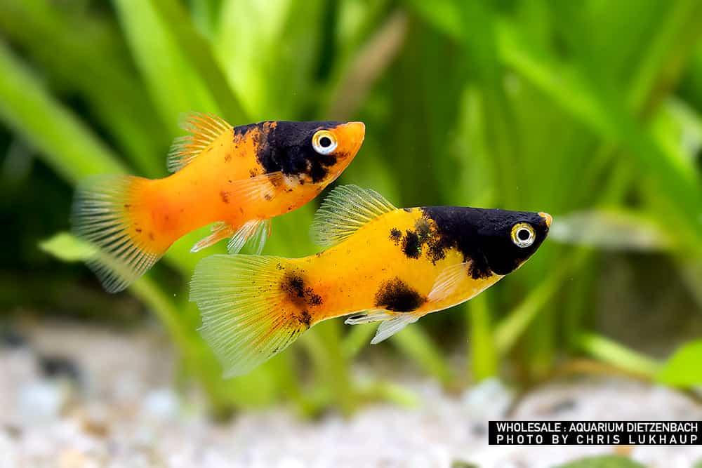 Xiphophorus maculatus -Platy