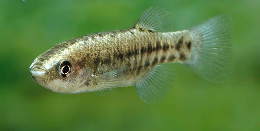 "Crenichthys baileyi ""Ash Spring"""