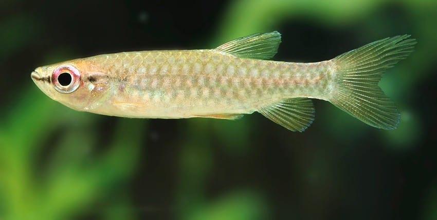Pyrrhulina brevis