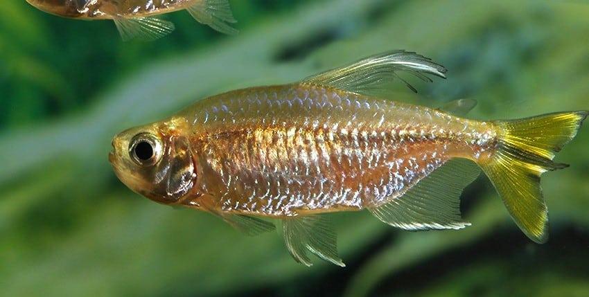 Alestopetersius caudalis