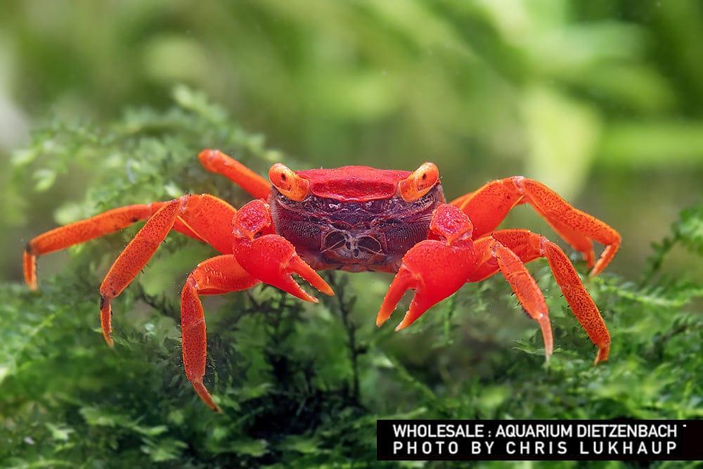 """Geosesarma spec.- Vampir Krabbe """"Tomato"""""""