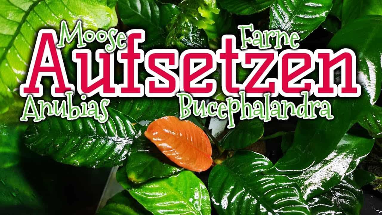 AQUaddicted! - Video Tipp: Aufsitzerpflanzen im Aquarium richtig anbringen