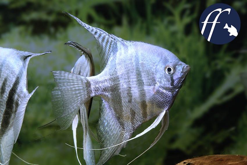 Franky Friday: Blaue Fische vom Skalar bis zum Fadenfisch