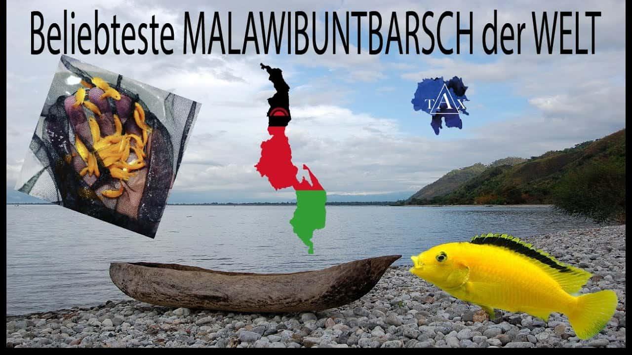 Tobis Aquaristikexzesse Video Tipp: Der bekannteste Malawibuntbarsch der Welt