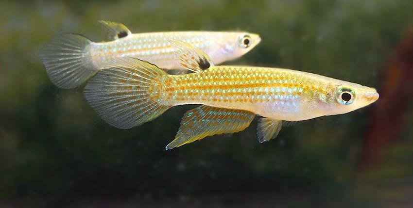Aplocheilus blockii