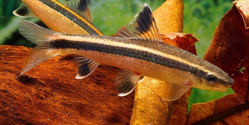Epalzeorhynchos kalopterum