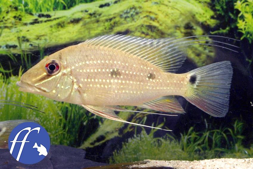 Franky Friday: Ein Fisch namens Daemon - Der Satanoperca 1