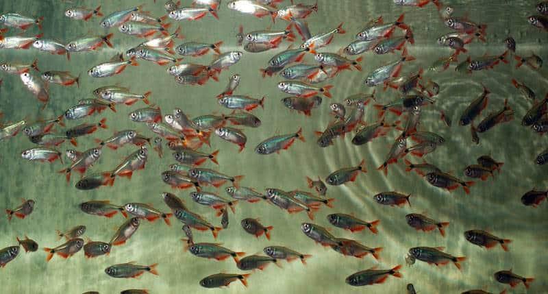 Hyphessobrycon anisitsi - Rautenflecksalmler, NZ