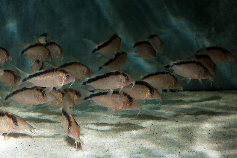 Corydoras bethanae (CW006) - Bethanas Panzerwels, WF-PER