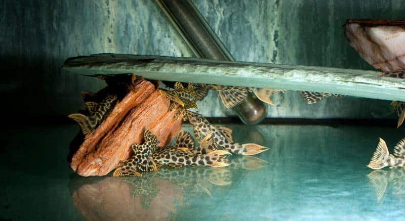 L 114 Leopard-Kaktuswels, WF- Pseudacanthicus sp.